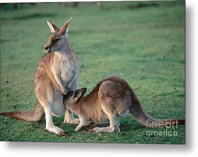 Kangaroo With Joey Metal Print