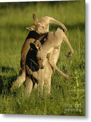 Kangaroos Taking A Bow Metal Print by Bob Christopher