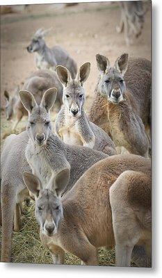 Kangaroos Waga Waga Australia Metal Print by Jim Julien