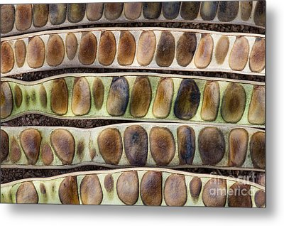 Kassod Tree Seed Pods Pattern Metal Print by Tim Gainey