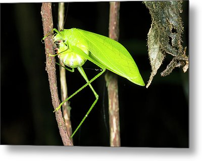 Katydid Laying Eggs Metal Print
