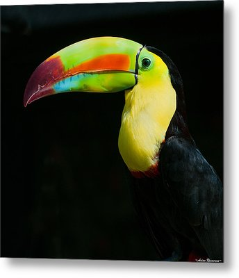 Metal Print featuring the photograph Keel-billed Toucan by Avian Resources