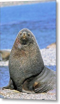 Kerguelen Fur Seal, Antarctic Fur Seal Metal Print
