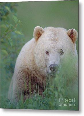 Kermode Bear, Northern British Metal Print by Art Wolfe