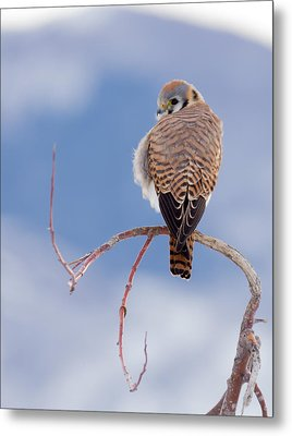 Metal Print featuring the photograph Kestrel In The Cold by Jeremy Farnsworth