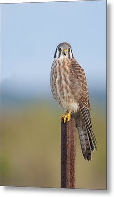 Kestrel On Metal Post Metal Print