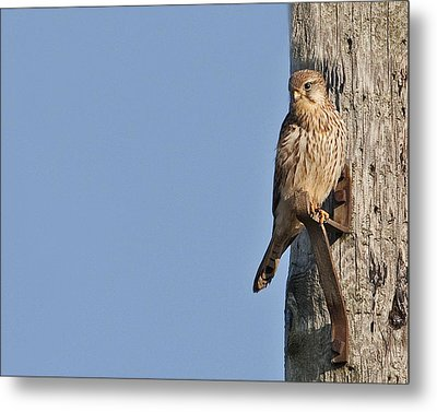 Metal Print featuring the photograph Kestrel by Paul Scoullar