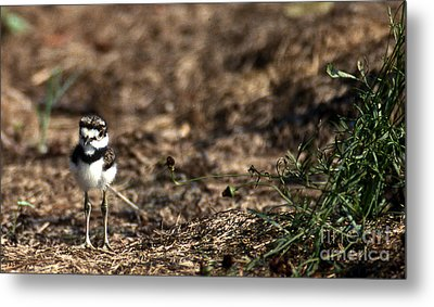 Killdeer Chick Metal Print
