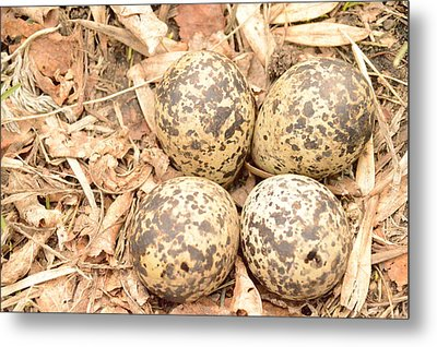 Killdeer Eggs Metal Print