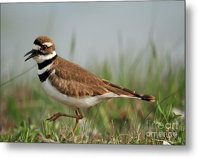 Metal Print featuring the photograph Killdeer by Geraldine DeBoer