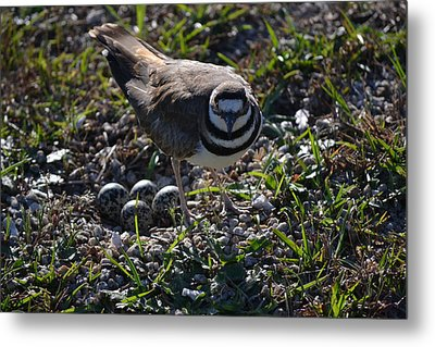 Killdeer Guarding Her Eggs Metal Print by Tara Potts