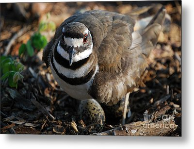 Killdeer Mom Metal Print