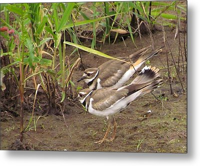 Metal Print featuring the photograph Killdeer Pair by I'ina Van Lawick