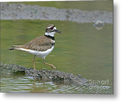 Killdeer Walking Metal Print