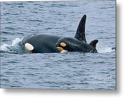 Metal Print featuring the photograph Killer Whale Mother And New Born Calf Orcas In Monterey Bay 2013 by California Views Mr Pat Hathaway Archives
