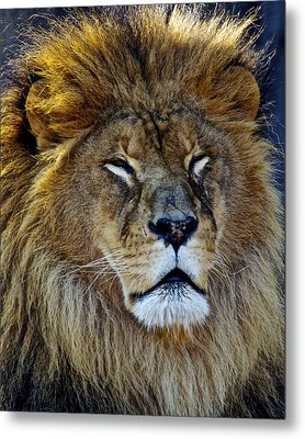 King Of The Beasts Metal Print by Frozen in Time Fine Art Photography