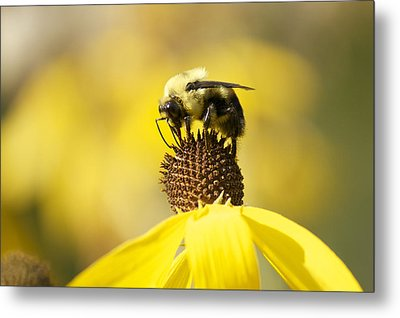 King Of The Coneflower Metal Print by Penny Meyers