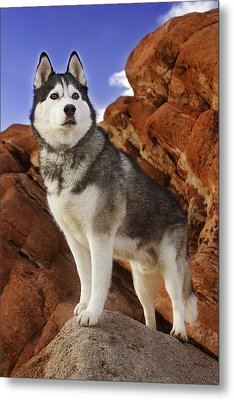 Metal Print featuring the photograph King Of The Huskies by Brian Cross