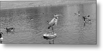 King Of The Pond Metal Print by Sarah E Kohara
