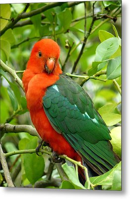 Metal Print featuring the photograph King Parrot Male by Margaret Stockdale