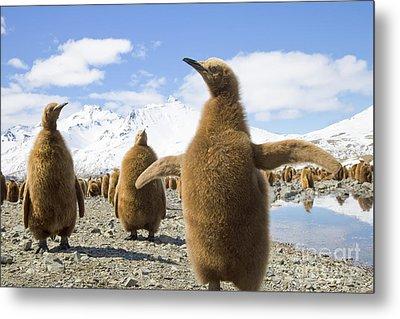 King Penguin Chicks South Georgia Island Metal Print