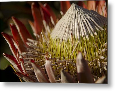 King Protea Metal Print by Aaron Bedell