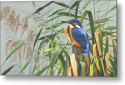 Kingfisher Metal Print by Clive Meredith