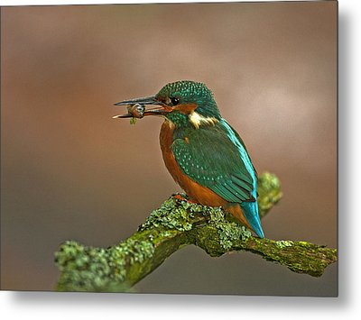 Kingfisher With Stickleback Metal Print