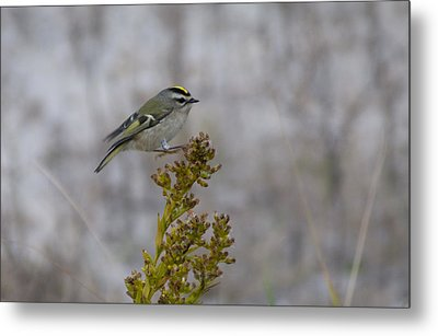 Metal Print featuring the photograph Kinglet by Greg Graham