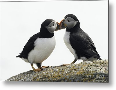 Kissing Puffins Metal Print by Jim  Hatch