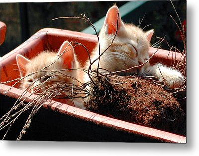 Kitten Flowers Metal Print by Dorothy Berry-Lound