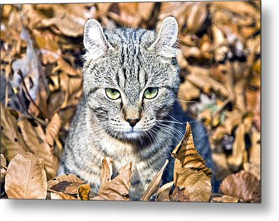 Metal Print featuring the photograph Kitten In Leaves by Susan Leggett