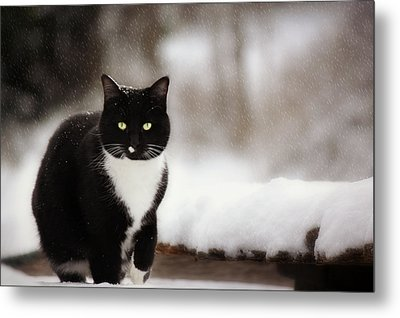 Kitty Snow Play Metal Print by Melanie Lankford Photography