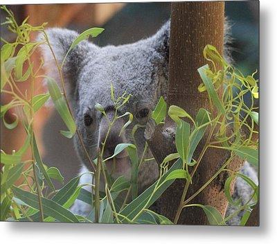 Koala Bear  Metal Print by Dan Sproul