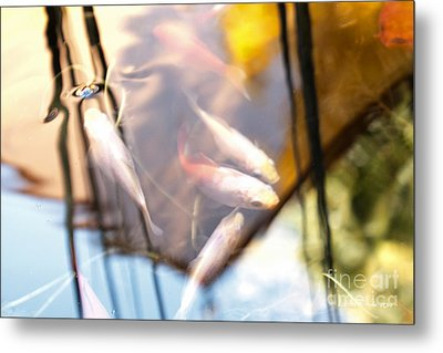 Koi The Symbol Of Love And Friendship Metal Print by Artist and Photographer Laura Wrede