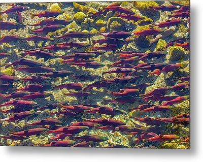 Kokanee Salmon Head Upstream Metal Print by Chuck Haney