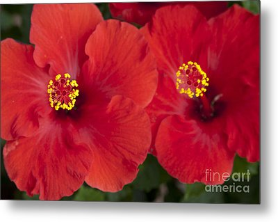 Kokio Ulaula - Tropical Red Hibiscus Metal Print by Sharon Mau