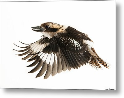 Metal Print featuring the photograph Kookabura In Flight by Avian Resources