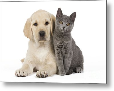Labrador Puppy With Chartreux Kitten Metal Print by Jean-Michel Labat