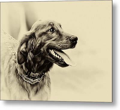 Labrador Retriever Metal Print by Jerome Lynch