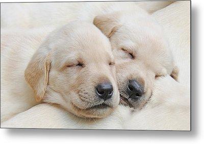 Labrador Retriever Puppies Sleeping  Metal Print by Jennie Marie Schell