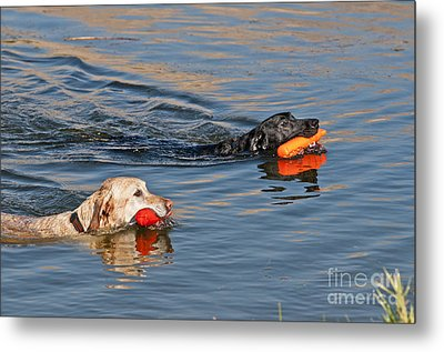 Labrador Retrievers In Pond Metal Print