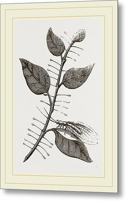 Lace-winged Fly And Eggs On Lilac Metal Print