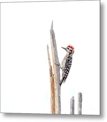 Ladder-backed Woodpecker Metal Print by Ruth Jolly