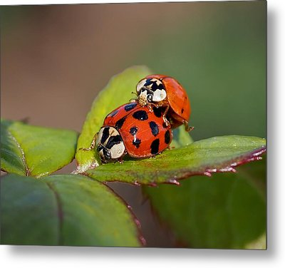 Ladybird Coupling Metal Print by Rona Black