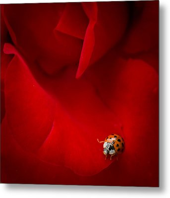 Ladybird In Rose Metal Print