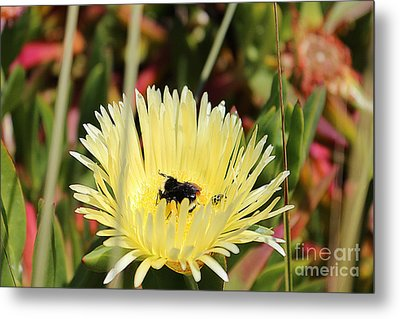 Ladybug And A Bumblebee Metal Print by Kevin Ashley