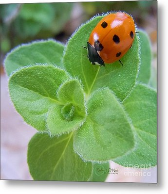 Metal Print featuring the photograph Ladybug And Oregano by Robert ONeil