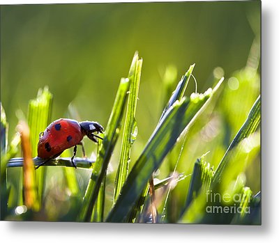 Ladybug In The Dew Covered Sunlit Grass Metal Print by Brandon Alms