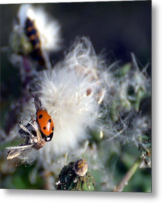 Metal Print featuring the photograph Ladybug by Linda Cox
